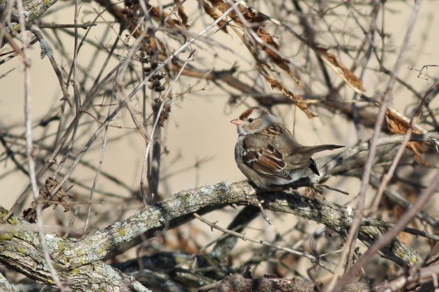 Another immature White-crowned Sparrow with plain lores and orange bill from January 2014 in Centre County, PA. (Photo by Alex Lamoreaux)