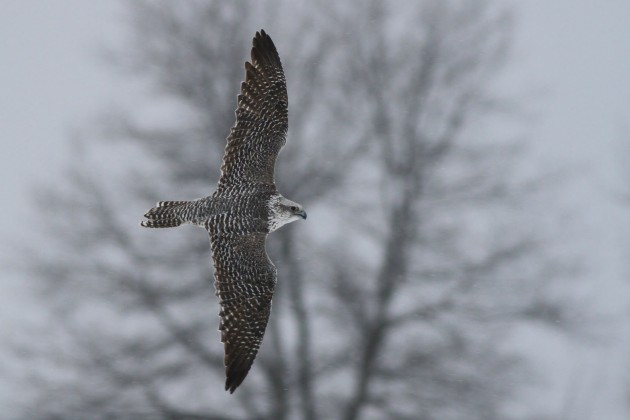 Adult female gray type Gyrfalcon on it's initial banking dive into the Mallard flock. (Photo by Alex Lamoreaux)