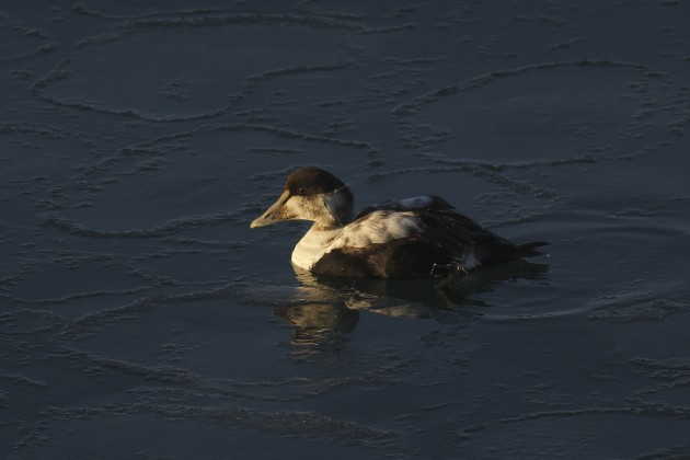 Common Eider in the frigid early morning. Jodrey State Fish Pier, Gloucester, Massachusetts. Photo by Matt Sabatine.