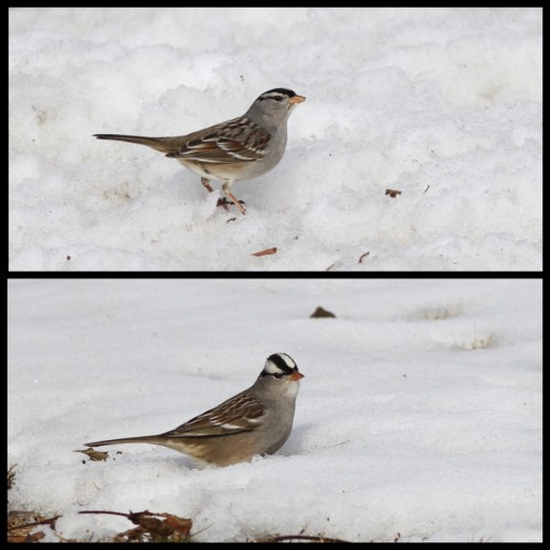 Another comparison of the Gambel's (top) and Eastern White-crowned Sparrows along the Big Spring, Cumberland County, PA. These photos really show the difference in bill color well. (Photos by Alex Lamoreaux)