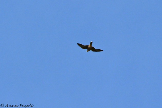 Peregrine hunting over fields
