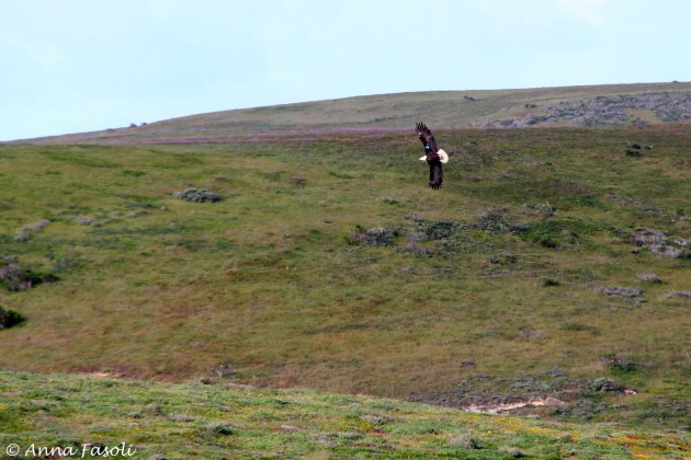 Bald Eagle near Lime Point, Santa Rosa Island (note that this eagle is tagged with a blue wing tag)