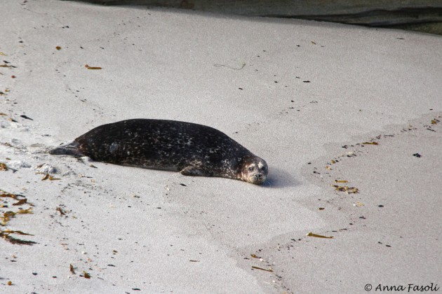 Harbor seals can occasionally be seen on beaches as well