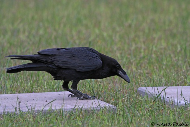 Common Raven searching for grubs at housing