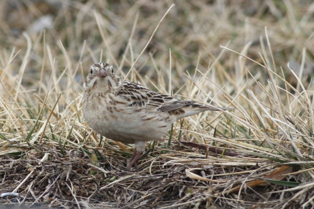 Immature Smith's Longspur at the Shenandoah Valley Regional Airport, Virginia. (Photo by Alex Lamoreaux)