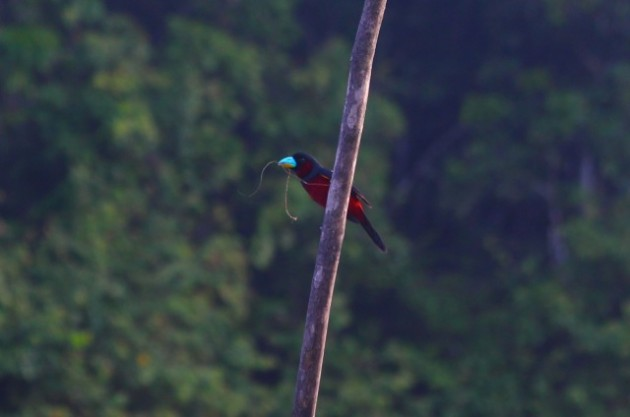 Black-and-red Broadbill carrying nesting material (photo by Steve Brenner)