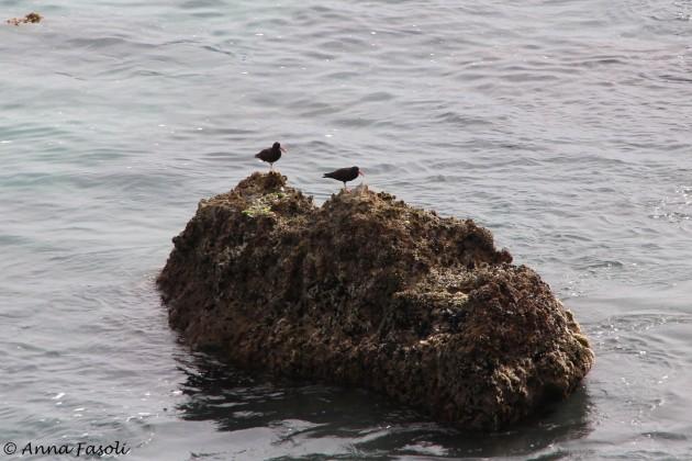 Black Oystercatchers near East Point, Santa Rosa Island