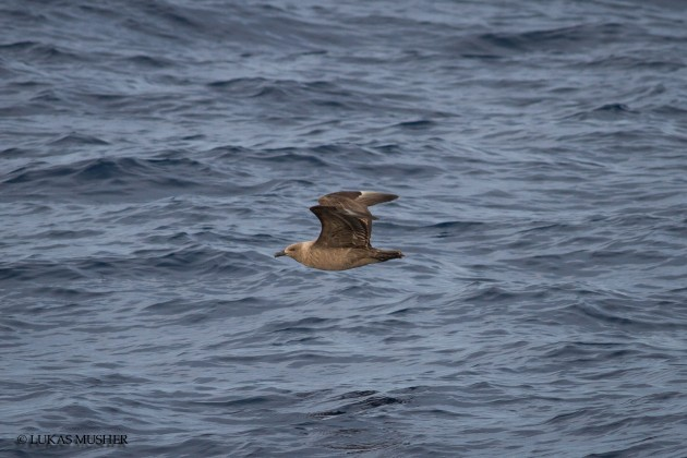 An immature South Polar Skua, the fourth of the morning. [Photo by Luke Musher]