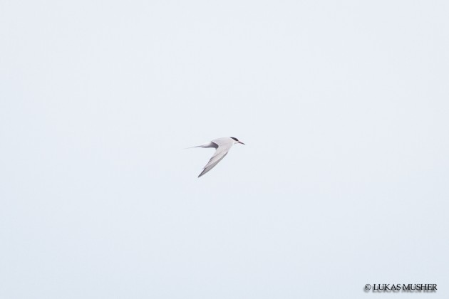 Common Tern [Photo by Luke Musher]