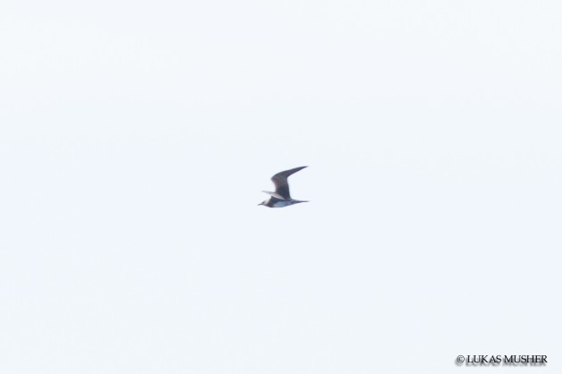 Distant photo of a Long-tailed Jaeger [photo by Luke Musher]