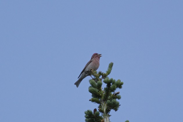 A still-singing Cassin's Finch, Brighton, Utah, 6/27/15.