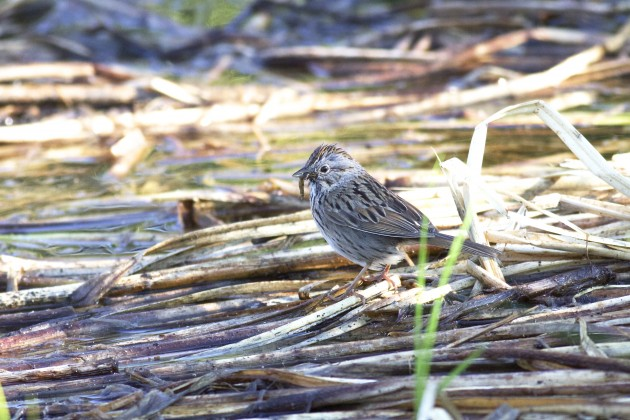 Lincoln's Sparrow carrying food, Silver Lake, Brighton, Utah, 6/28/15.