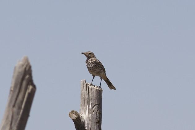 Sage Thrasher, Cedar Valley, Utah, 6/17/15