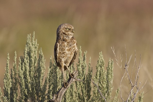 Burrowing Owl scowling at us for stopping to interrupt its moth-hunt, Antelope Island State Park, Utah, 6/17/15
