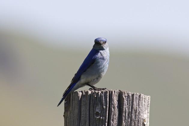 Mountain Bluebird, Grand Teton National Park, Wyoming, 6/18/15