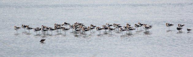 Group of American Avocets, DE. Photo by Steve Brenner