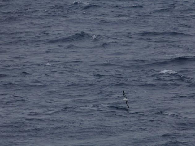 One of 5 Black-capped Petrels I saw.