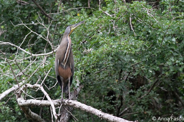 Bare-throated Tiger Heron - adult; another fairly common species at Crooked Tree