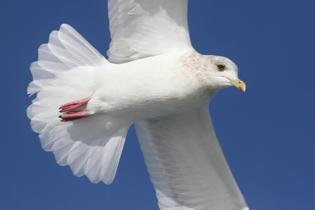 Adult Kumlien's Iceland Gull (Photo by Alex Lamoreaux)