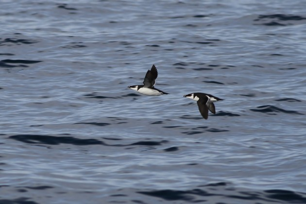 Adult Razorbills flying passed the boat. (Photo by Alex Lamoreaux)