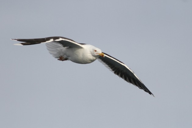 Adult Great Black-backed Gull (Photo by Alex Lamoreaux)