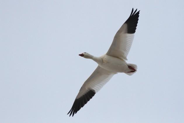Snow Goose (Photo by Alex Lamoreaux)