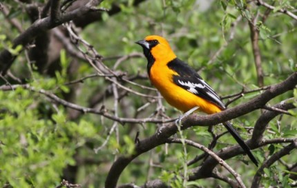Altamira Oriole (Photo by Alex Lamoreaux)