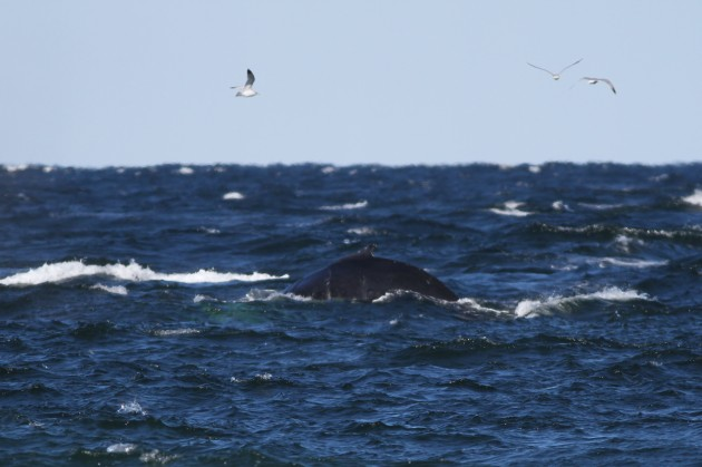 Humpback Whale and gulls (Photo by Alex Lamoreaux)