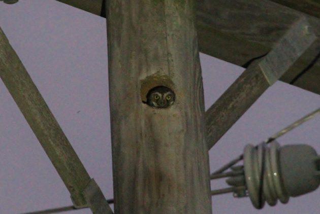 Elf Owl (Photo by Alex Lamoreaux)