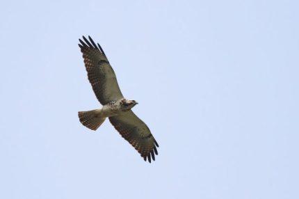 Swainson's Hawk light immature (Photo by Alex Lamoreaux)
