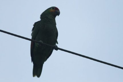 Red-lored Parrot (Photo by Alex Lamoreaux)