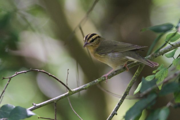 Worm-eating Warbler (Photo by Alex Lamoreaux)