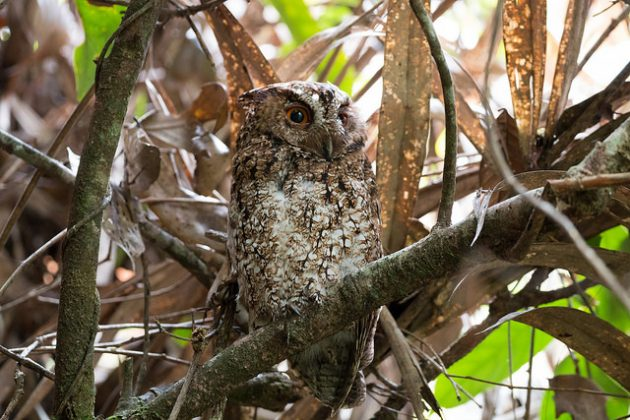 Rajah Scops Owl. First confirmed photo of this species alive in Borneo. Photo by Andy Boyce (Kinabalu Park, May 2016).