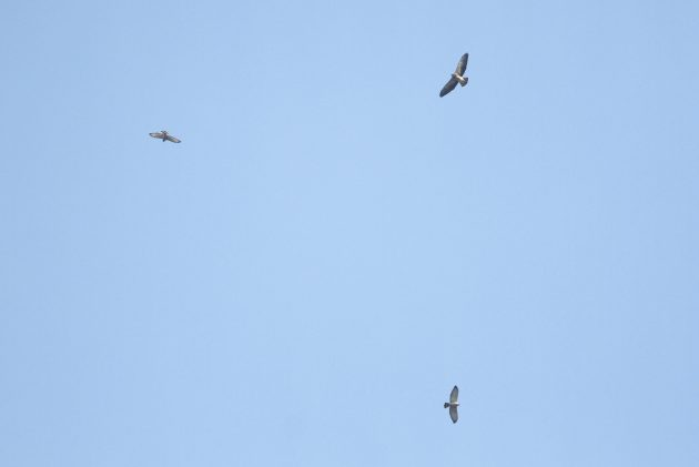 Broad-winged Hawks soaring with a Swainson's Hawk (Photo by Alex Lamoreaux)