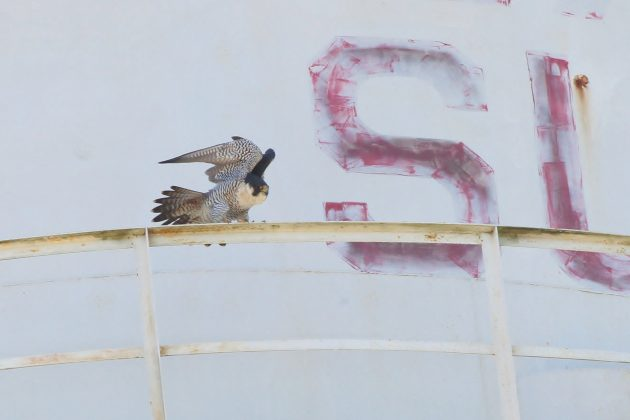 Adult Peregrine stretching on the Sullivan City water tower (Photo by Alex Lamoreaux)