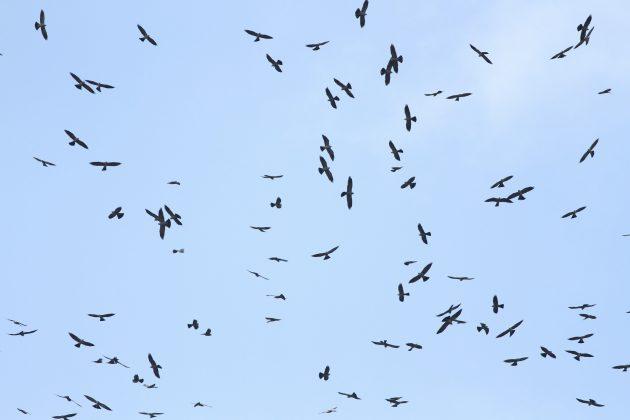 Mega-kettle of Mississippi Kites over Santa Ana NWR (Photo by Alex Lamoreaux)