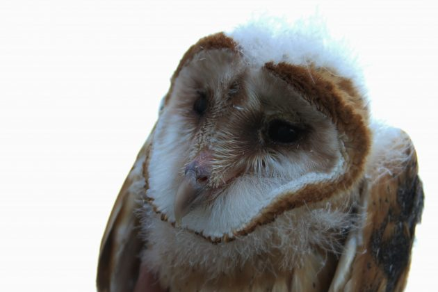 Barn Owl fledgling - the oldest of the 4 banded (Photo by Alex Lamoreaux)