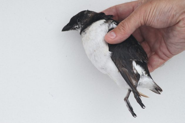Deceased Dovekie (Photo by Alex Lamoreaux)