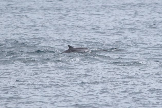 Striped Dolphin (Photo by Alex Lamoreaux)