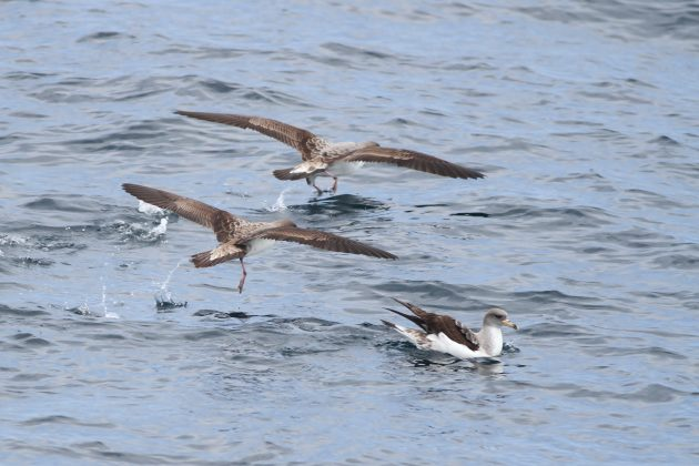 Cory's Shearwaters (Photo by Alex Lamoreaux)