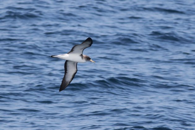 Cory's Shearwater (Photo by Alex Lamoreaux)
