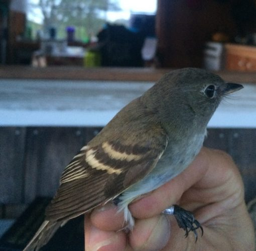 Least Flycatcher side view. Grayish impression on back and head, more gradual, shorter primary projection as wings fold. (Photo by Steve Brenner, RI 2016).