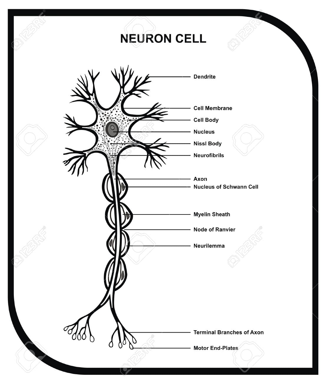 Nerve Cell Coloring