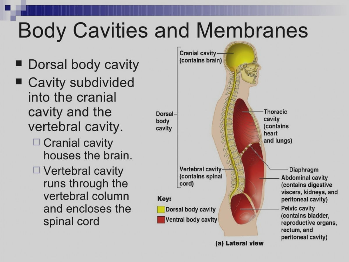 Latest Cranial Cavity Organs Amazing In Body Cavities And