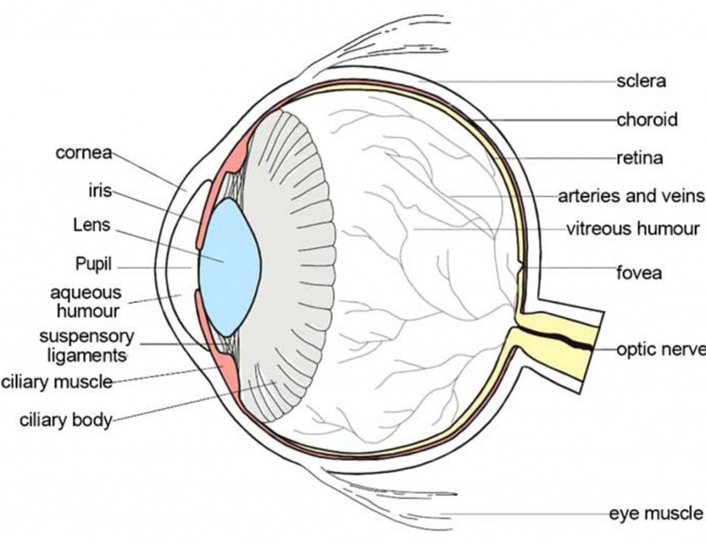 Anatomy Of The Eye Coloring
