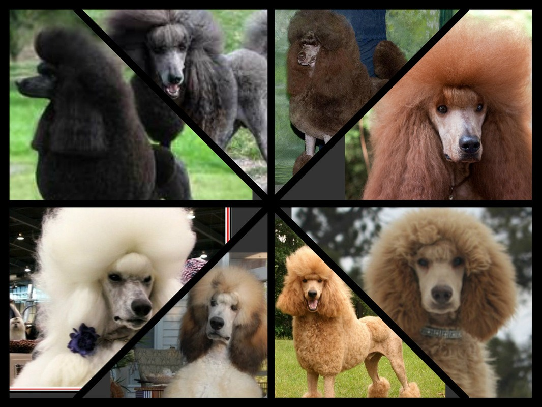Poodle Pictures To Color