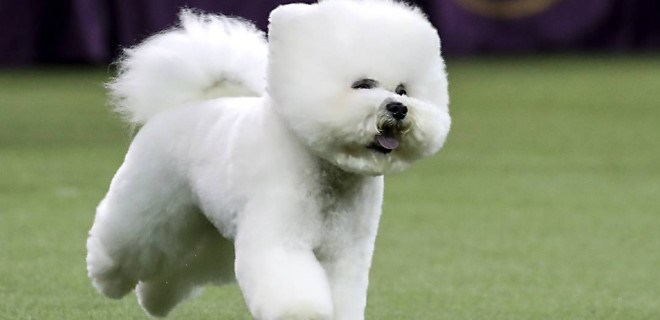 Bichon Frise Köpeği