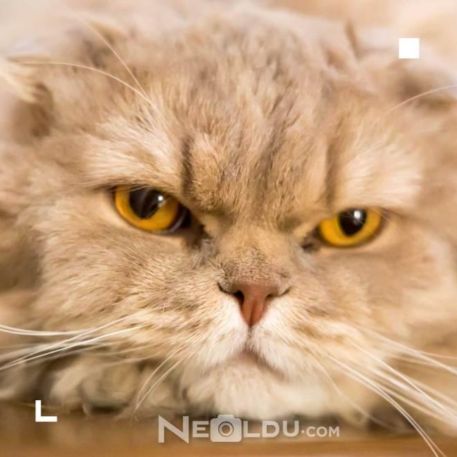 Kedilerde Ağız ve Diş Sağlığı