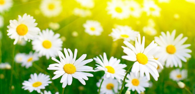 papatya 007 - Benefits Of Chamomile Oil