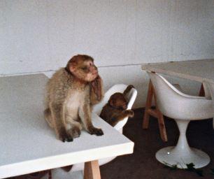 Restaurant Barbary Macaque